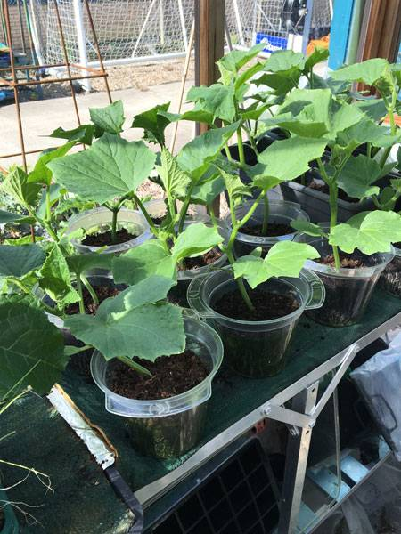 Cucumbers in Harrod Greenhouse
