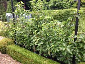Espalier_Apple_Trees