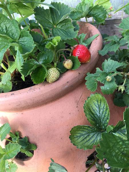 First Red Strawberry Harrod Garden