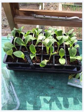 Self Watering Propagator Courgettes