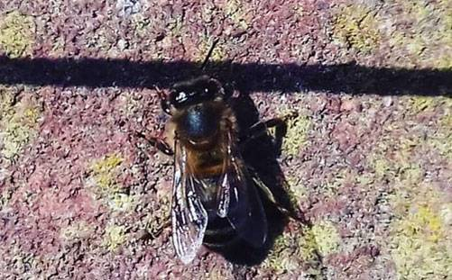 Solitary-Bee2-150219