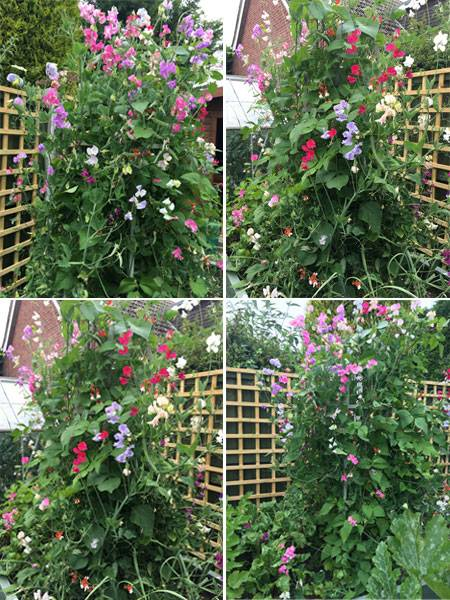 Sweet Peas on Obelisk Collage - Sheena