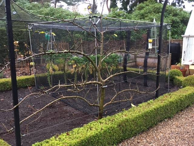 apple espalier winter