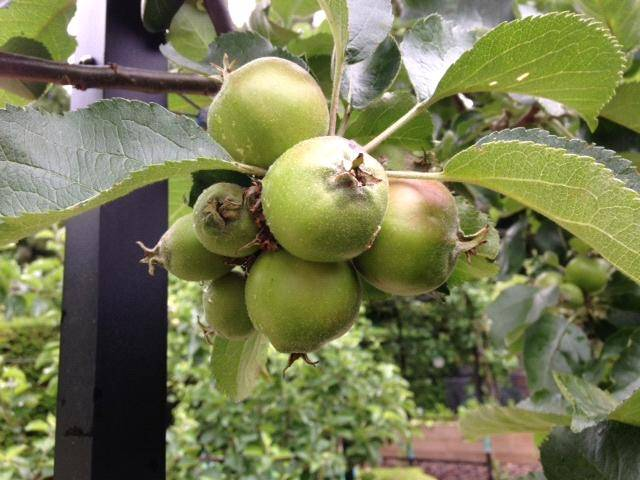 apples thinning