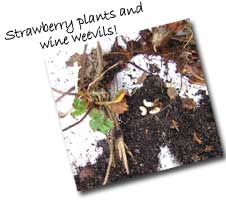 Strawberry Plants & Vine Weevils