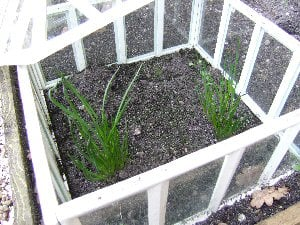 Planting in the cold frame