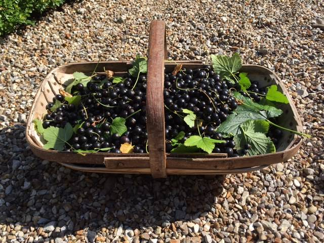 blackcurrant trug