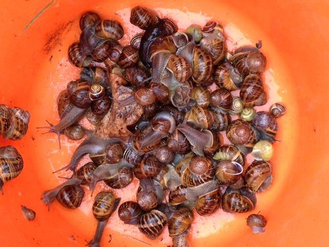 bucket of snails