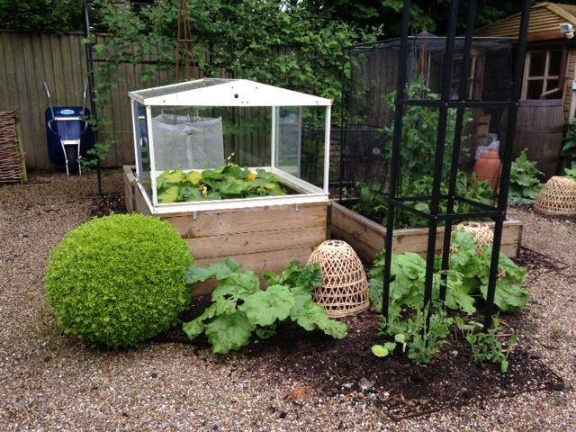courgette cold frame