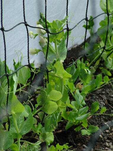 Peas Under Protection
