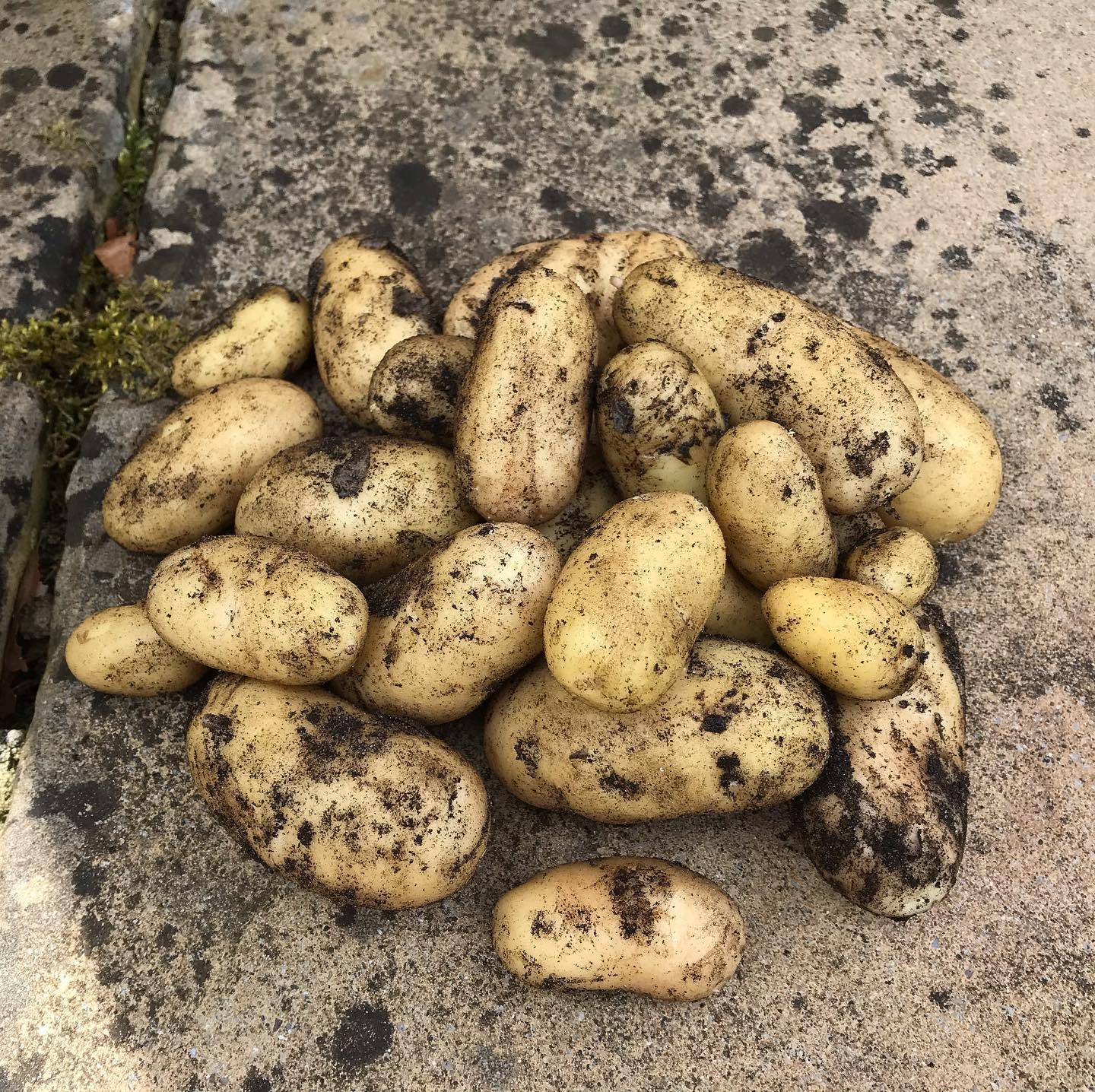Potato Harvest 07-07-2020