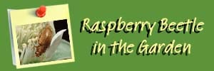 Raspberry Beetle Ai Header