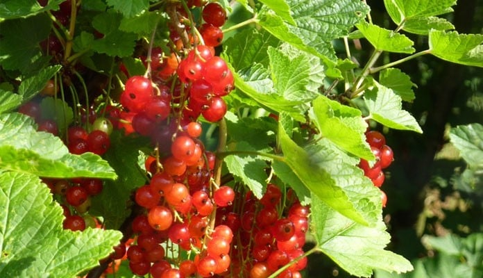 Summer Redcurrants in Fruit Cage