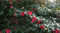 Camellia not flowering