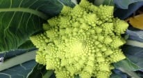 Weekly Kitchen Garden Blog - Amazing Romanesco Cauliflower