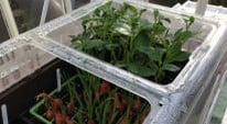 Weekly Kitchen Garden Blog - pricking out seedlings
