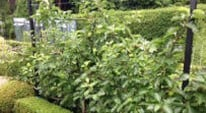 Kitchen Garden Blog - pruning espalier fruit trees