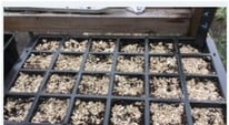 Courgettes Plants Potting On & Sowing Tomato Seeds at Harrod HQ