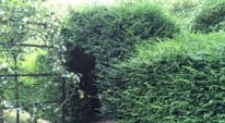 September is the ideal month to prune evergreen hedges