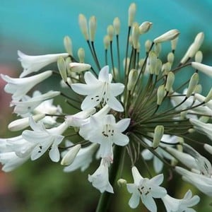 Agapanthus Africanus Albus Is Commonly Known As African Blue Lily, Lily-of-the-nile Or Love Flower Is A Clump-forming Perennial. It Produces Trumpet-s