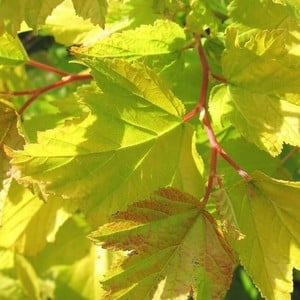 Physocarpus Darts Gold Commonly Known As Nine Bark Is A Compact Medium-sized Deciduous Shrub With Bright Yellow, Three-lobed Leaves, Becoming Greener