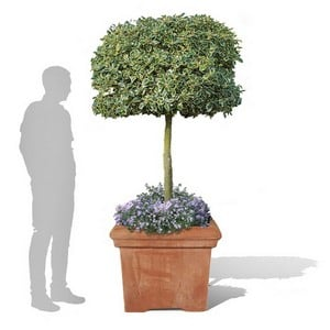 https://www.harrodhorticultural.com/uploads/images/products/Baytree-square-terracini-GPL-252_65cm_72dpi-v2.jpg