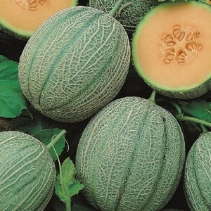 Melon Blenheim Orange 5 Plants Organic