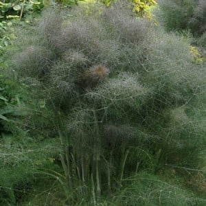 Bronze Fennel Is A Superb Hardy Perennial Herb That Produces Beautiful Bronze Coloured Feathery Foliage, Has A Sweet Aroma And A Delicious Aniseed Fla
