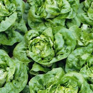 Lettuce Buttercrunch (10 Plants) Organic