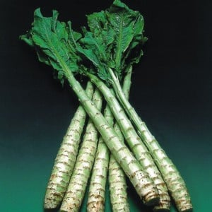 Celtuce 10 Plants Organic