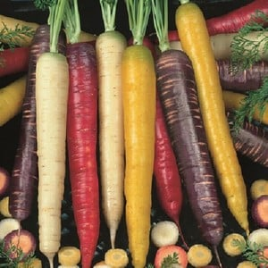 Carrots Colourful Mix 20 Plants Organic