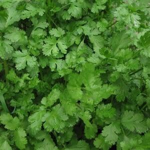 Coriander 3 Plants Organic