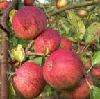 Organic Dabinett Cider Apple Trees