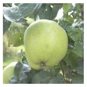 Organic Grenadier Apple Trees