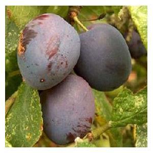 Organic Czar Plum Trees