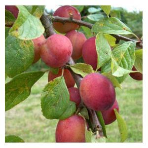 Organic Victoria Plum Trees