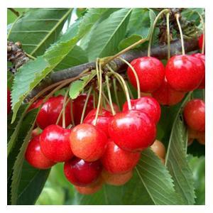 Organic Stella Cherry Trees