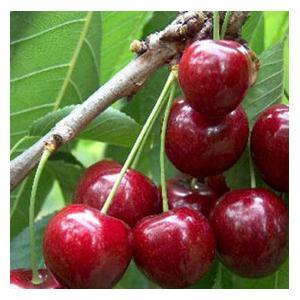 Organic Sunburst Cherry Trees