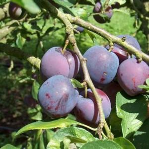 Organic Blue Tit Plum Tree