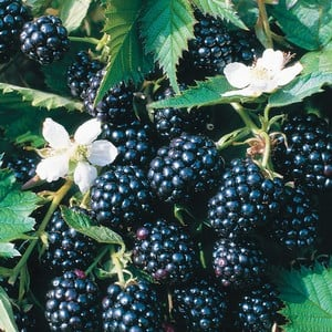 The Blackberry Loch Ness Is A Thornless Blackberry That Has Stout, Erect Canes That Require The Minimum Of Support, A Considerably Winter Hardy Blackb