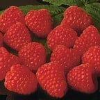 Raspberry Autumn Bliss (pack of 6 canes)