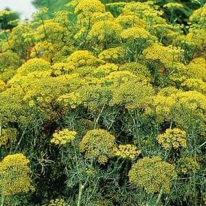 Fernleaf Dill 3 Plants Organic