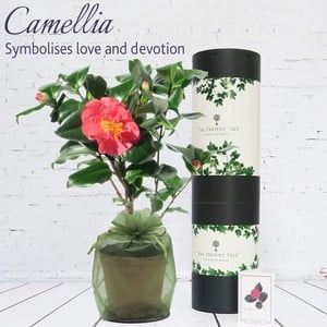 Flowering Camellia Plant Gift