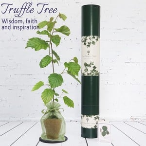 This Beautiful Hazel Truffle Trees Roots Are Growing In A Symbiotic Relationship With The Native Summer Truffle Fungus (tuber Aestivum Uncinatum) An U