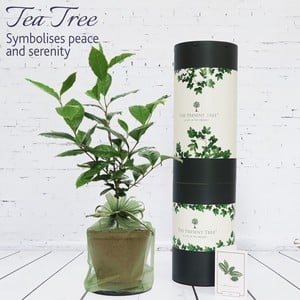 Tea Plant Gift