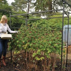 Harrod Autumn Raspberry Support