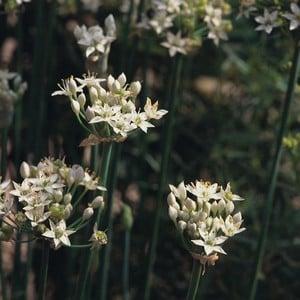 Garlic Chives 3 Plants Organic