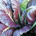 Giant Red Mustard (10 Plants) Organic