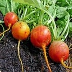 Golden Beetroot (10 Plants) Organic