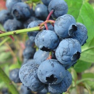 Blueberry Herbert Is Considered To Be One Of The Best Flavoured Blueberries, The Berries Are Very Large And Medium-blue. The Bush Has A Vigorous Uprig